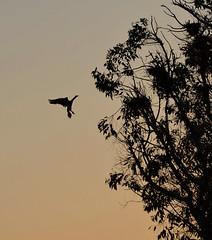 Cormorant putting on the brakes - Lake Merritt, Oakland, CA (Nurse Ratchet 2015) Tags: california tree bird water silhouette blackwhite flight lakemerritt cormorant recordingimages