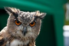 Owl (kayugee) Tags: portrait bird lakedistrict owl countryshow torver eos400d