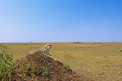 Poser (santanu nandy) Tags: africa kenya wildlife safari cheetah masaimara