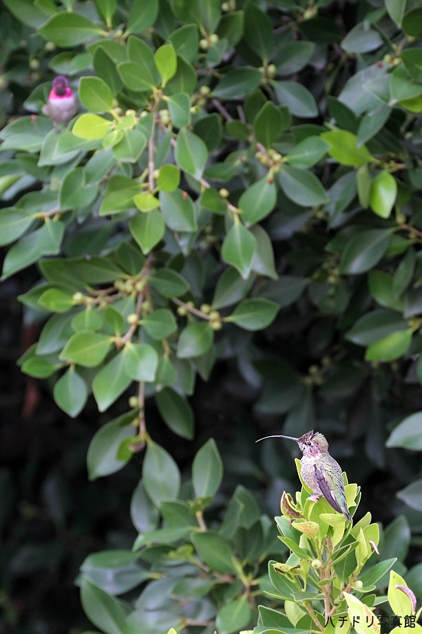 Anna's Hummingbird111111-2