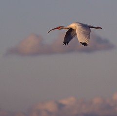 The Friendly Skies (PelicanPete) Tags: sunset nature beauty clouds inflight unitedstates florida wildlife ibis wetlands everglades wingspan southflorida longbill blacktips