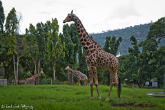 """The Giraffes • <a style=""""font-size:0.8em;"""" href=""""http://www.flickr.com/photos/41711332@N00/6353415033/"""" target=""""_blank"""">View on Flickr</a>"""