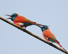 Northern carmine bee-eater (anacm.silva) Tags: africa wild bird nature birds nikon wildlife natureza ngc aves georgetown ave thegambia beeeater frica northerncarminebeeeater meropsnubicus vidaselvagem abelharuco anasilva gmbia nikond40x janjanbureh wassustonecircles mccarthyisland