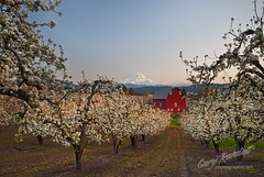 Springtime in Hood River (Gary Randall) Tags: flowers sunset oregon pears blossoms orchard mthood pearblossoms mounthood redbarn hoodriver dsc64762