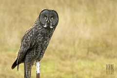 Hoo are YOU? (Ian Sane) Tags: by oregon rural fence ian photography drive am glare post pacific northwest you farm wildlife great nowhere gray images owl land stare shooting hoo sane pompous gladtidings i not are