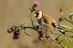 European Goldfinch (Carduelis carduelis) (m. geven) Tags: putter europeangoldfinch cardueliscarduelis zangvogel stieglitz chardonneret goldfinch kleurrijk colorful colourful vinkachtige distelvink fringillidae jaarvogel broedvogel breedingbird distelzaad kaardebol tuinvogel gardenbird parkvogel doortrekker migratingbird avian avifauna bird vogel natuur nature fauna dier animal passerine foeragerend foraging feeding fourageren etend eating distel thistle liemers gelderland nederland thenetherlands uiterwaard riverforelands rivierengebied geldersepoort najaar fall herfst autumn nazomerdistel foerageren zaadeter seed gemeentezevenaar nederlandthenetherlandsniederlande nld