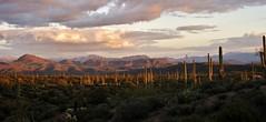 Saguaros at Sunset (NicLeister) Tags: sunset arizona cactus snow mountains phoenix sonora landscape desert sony saguaro alpha sonoran a390