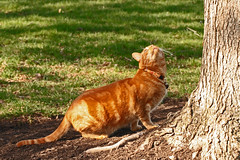 Courage Mack, he's up there! (Kerri Lee Smith) Tags: orange cats pets animals cat ginger feline tabby kitty 100mm kitties buff tabbies felines mack