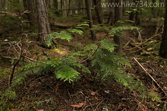 """Young Cedar • <a style=""""font-size:0.8em;"""" href=""""http://www.flickr.com/photos/63501323@N07/5883213131/"""" target=""""_blank"""">View on Flickr</a>"""