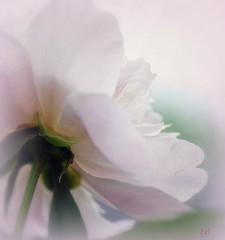 Looking beyond (Pureheart11) Tags: flower nature ngc peony npc greatphotographers languageofflowers awesomeblossoms blinkagain bestofblinkwinners blinkagainsuperstars blinksuperstars