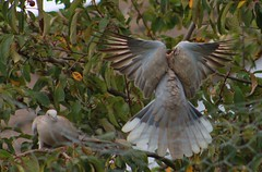 Wingspread (aaron_eos_photography) Tags: summer tree nature birds garden inflight pigeon dove goldfinch sunday july bluesky wingspan overhead doves collareddove gardenwildlife wingspread nygerseed birdwildlife