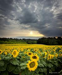 Le soleil n'est pas toujours là où l'on croit ! (-CyRiL-) Tags: france vertical fleurs landscape dordogne paysages tournesols végétation aquitaine francelandscapes cyrilbkl loubéjac cyrilnovello