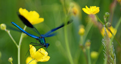 The blue dragonfly (okrakaro) Tags: blue nature germany insect dragonfly blau libelle 2011 flickrdiamond mygearandmepremium mygearandmebronze ringexcellence peregrino27macro