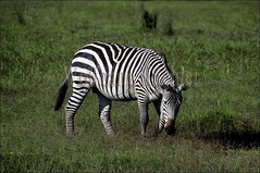 10011019 (wolfgangkaehler) Tags: africa nationalpark feeding kenya stripes wildlife stripe zebra nationalparks grassland grazing grasslands amboseli eatinggrass burchellszebra africananimal amboselinationalpark burchellszebras animalgrazing burchellszebraequusquagga amboselinatlparkkenya