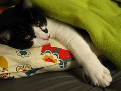 Vida de gato (Carol Grilo • FofysFactory®) Tags: winter cat carolgrilo gato gata neko inverno frio ねこ miau beterraba