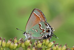 Juniper Hairstreak (DrPhotoMoto) Tags: egg northcarolina eggs mating spawn ova picnik hatchlings fertile layingeggs fertilization richmondcounty juniperhairstreak olivehairstreak