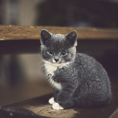 256 of 365 (Morphicx) Tags: cat grey kitten canon5d 365 canon50mmf14 365shotsin365days
