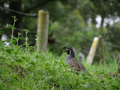 California Quail #2 (Home Land & Sea) Tags: newzealand male bird fence wooden nz napier sonycybershot hawkesbay hff californiaquail callipeplacalifornica parkisland fencedfriday homelandsea dschx100v
