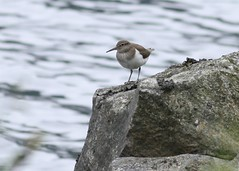 A common sandpiper (richardblackburn1974) Tags: bird scotland oystercatcher glenesk