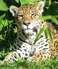 Onça pintada (Jakza) Tags: animais gramadozoo natureza nanatureza innature frenteafrente tufototureto pregamewinner challenge factorywinner