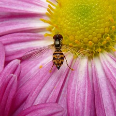 Hoverfly (Dendroica cerulea) Tags: autumn garden insect fly newjersey nj fav20 highlandpark fav30 arthropoda hoverfly invertebrate syrphidae diptera insecta beemimic fav10 syrphidfly middlesexcounty syrphinae toxomerini