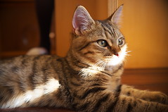 kitten in musing (at a cat cafe, Nara) (Marser) Tags: japan cat kitten raw nara    ikoma x100 silkypix catcafe  finepixx100