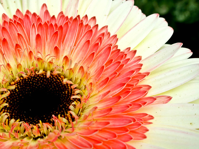 IMG_2219 the Barberton daisy (Gerbera jamesonii),非洲菊