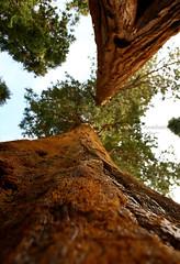 Sequoia tree, National park (Ole Lukoie) Tags: california ca usa tree nature sequoia sequoianationalpark сша калифорния национальныйпарк секвойя