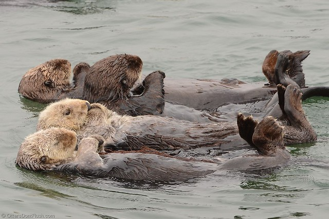 Four Sea Otters Drifting By