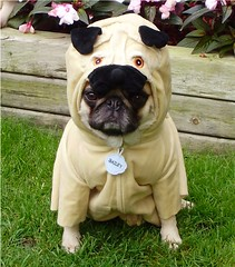 Pug In A Pug Costume 'Pugception' (DaPuglet) Tags: dog pets holiday cute dogs halloween animals puppy costume puppies october funny dress lol humor pug meme pugs dogcostume pugcostume dapuglet baileypuggins