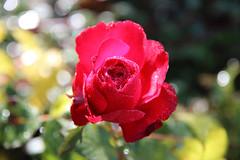 DAY 305 (Stila_Rebel) Tags: autumn red flower rose waterdrop bokeh project365 1585mm canon600d beyondbokeh rebelt3i