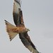 Red Kite @ Argaty6