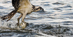 Plucked! (minds-eye) Tags: fish nature birds fishing florida hunting raptor catch osprey talons guana gtmnerr