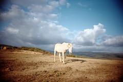 , (Benedetta Falugi) Tags: horse film analog tuscany cavallo maremma 22mm autaut eximus benedettafalugi wwwbenedettafalugicom maialaaaaaaa