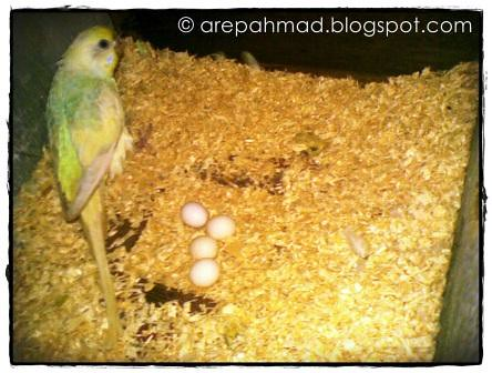 budgie eggs
