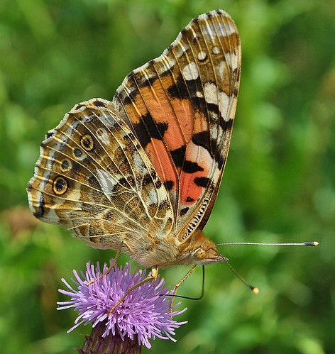 Painted Lady Butterfly by Kinzler Pegwell