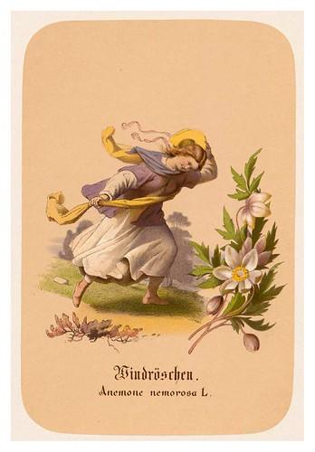 013-Anemonas-Illustrirtes Kräuterbuch –Aquarelle- 1870-Adolf Schroedter