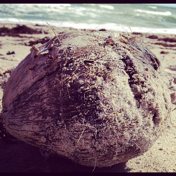 A coconut that washed up on shore.
