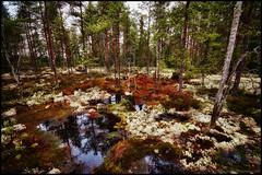 Knyppelberget (Jonas Thomn) Tags: trees mountain reflection water berg rain forest puddle moss skog vatten hdr regn trd reflektion mossa spegling vattenpl 5ex1ev
