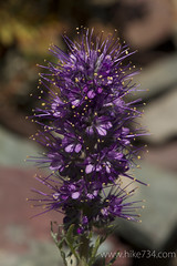 """Silky Phacelia • <a style=""""font-size:0.8em;"""" href=""""http://www.flickr.com/photos/63501323@N07/6338859972/"""" target=""""_blank"""">View on Flickr</a>"""