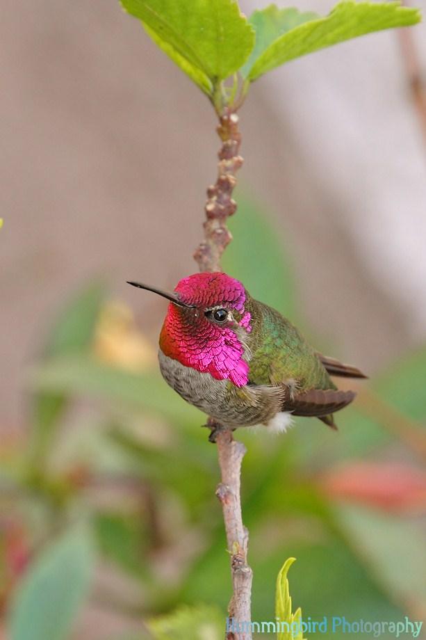 Anna's Hummingbird 111511-3