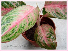 Aglaonema 'Miss Thailand' - the separated plant is potted to grow as a new plant, Oct 15 2011