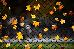 Fencey Leaves (gordeau) Tags: autumn fall leaves fence trapped gordon sweep ashby flickrchallengegroup flickrchallengewinner thechallengefactory thepinnaclehof gordeau tphofweek141 lightwriterscc