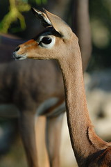 Gerenuk at Wild Animal Park in Escondido-05 12-17-07