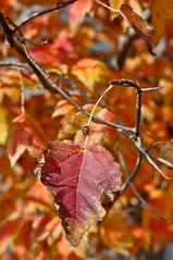 Autumn Climber (AnotherSaru - Limited mode) Tags: autumn orange tree fall bug insect walking climb leaf climbing ladybird ladybug 2011