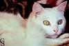 Floquinho-4-5 (Geraldo Stefano) Tags: gato gatobranco olharfelino geraldostefano