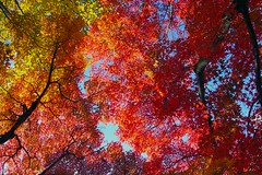 Coloring Autumn (love_child_kyoto) Tags: park travel autumn nature garden japanesegarden kyoto gardening autumnleaves autumncolors  coloring   1001nights    ricoh mapleleaves           takenwithlove  shinnyodotemple    november262011
