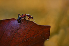 a small ant on a big journey (Crazy Ivory) Tags: lighting city autumn light shadow red brown sun sunlight blur detail macro berlin nature colors animal backlight canon bug walking outside lights leaf spring interesting colorful bokeh outdoor ant details small blurred running 100mm sharp prey feed leafs ameise canon100mmusmmacro canon100mmf28usmmacro 40d canoneos40d canon40d gettygermanyq4