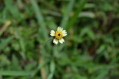 Single (Aditi Elassery) Tags: flowers white green nature grass smallwildflower