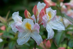 Rhododendron 'Silver Slipper' (sfb_dot_com) Tags: china pink flowers white yellow garden spring asia cluster evergreen ericaceae shrub lc perennial cultivated dicot temperate montane ericales cooltemperate 1050mmf28 calcifuge